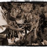 picking-grapes-sepia