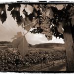 vineyard-sepia