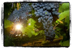 vineyard-sun2
